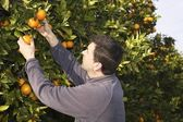 Orange tree field farmer harvest picking fruits — Stock Photo