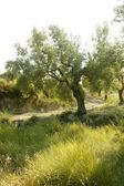 Olive tree field in Spain — Stock Photo