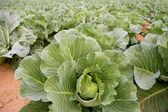 Cabbage fields, rows of vegetable food — Stock Photo