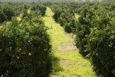 Orange tree field in a row — Stock Photo