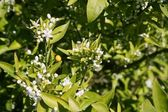 Orange tree flowers during spring — Stock Photo