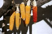 Dried vivid orange corn on a sunny day — Stock Photo