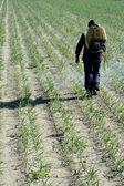 Chemical human application, onion fields — Stock Photo