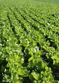 Lettuce fields in green vivid color — Stock Photo