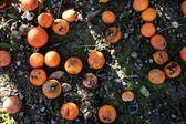 Rotten orange citrus on the floor — Stock Photo