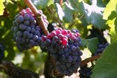Black red grape for wine production in Spain — Stock Photo