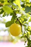 Mirabelle yellow plum fruit in its tree — Stock Photo