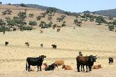 Byk bydło czarny toro w południowej hiszpanii — Zdjęcie stockowe