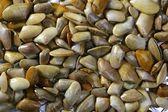 Tellinidae восход tellin моллюсков шаблон — Стоковое фото