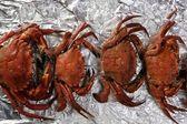 Lio carcinus puber crabs row — Stock Photo