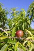 Nectarine peach tree growing in spring blue sky — Stock Photo