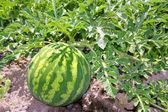 Agriculture watermelon field big fruit water melon — Stock Photo