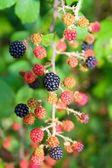 Blackberry berries branch in plant selective focus — Stock Photo
