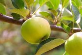 Apple green fruit tree branch — Stock Photo