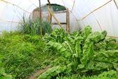 Greenhouse little familiar backyard chard — Stock Photo