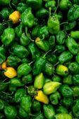 Habanero chili hottest pepper in the world — Stock Photo