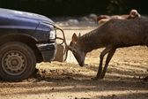 Deer fighting with a car, power combat — Stock Photo