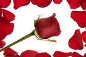 Rosa rossa in una cornice di confine di petali — Foto Stock