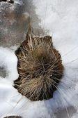 Gedroogde plant in een ijs sneeuw bodem witte winter — Stockfoto