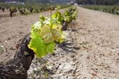 Vineyard first spring sprouts in row field in Spain — Stock Photo