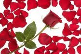 Red rose in a petals border frame — Stock Photo