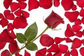 Rosa roja en un marco de frontera de pétalos — Foto de Stock