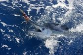 Beautiful white marlin real billfish sport fishing — Stock Photo