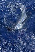 Pesca deportiva de marlin blanco hermoso marlines real — Foto de Stock