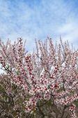 Almond flower trees field in spring season — Stock Photo