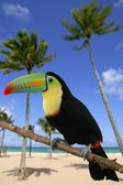 Kee billed Toucan bird colorful — Stock Photo