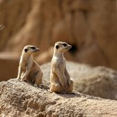 Two suricata standing alert. — Stock Photo