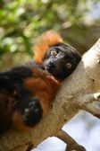 Brown lemur lied on a branch — Stock Photo