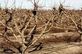 Dry fruit trees without leaves in autumn — Zdjęcie stockowe