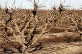 Suche drzewa owocowe bez liści jesienią — Zdjęcie stockowe