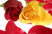 Two rose macro red and yellow with petals — Stock Photo