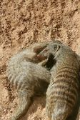 Two dwarf mongoose playing over sand — Stock Photo