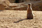 Madagaskar suricata kil peyzaj üzerinde — Stok fotoğraf