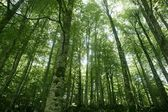 Beech green magic forest woods — Stock Photo