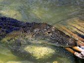 Krokodil cayman in lake midden-amerika — Stockfoto