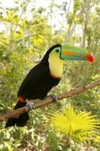 Toucan kee billed Tamphastos sulfuratus jungle — Stock Photo