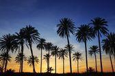 Palmiye ağaçları günbatımı altın mavi gökyüzü arka ışık — Stok fotoğraf