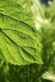 Transparency mulberry leaf green nature macro — Stock Photo