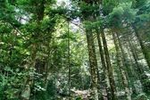 Pyrenees trees forest mountain summer scenics — Stock Photo