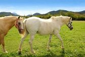 White horses meadow prairie grassland Pyrenees — Stock Photo