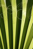 Palm leaf detail with curling fiber — Stock Photo