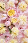 Colorful pink and yellow flowers background — Stock Photo
