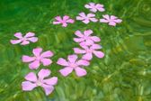 Oleander pink flowers floating in natural freshwater — Stock Photo