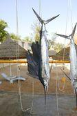 Sailfish catch hanging marlin fishing trophy — Stock Photo