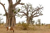 African Baobab tree with livestock eating — Stock Photo