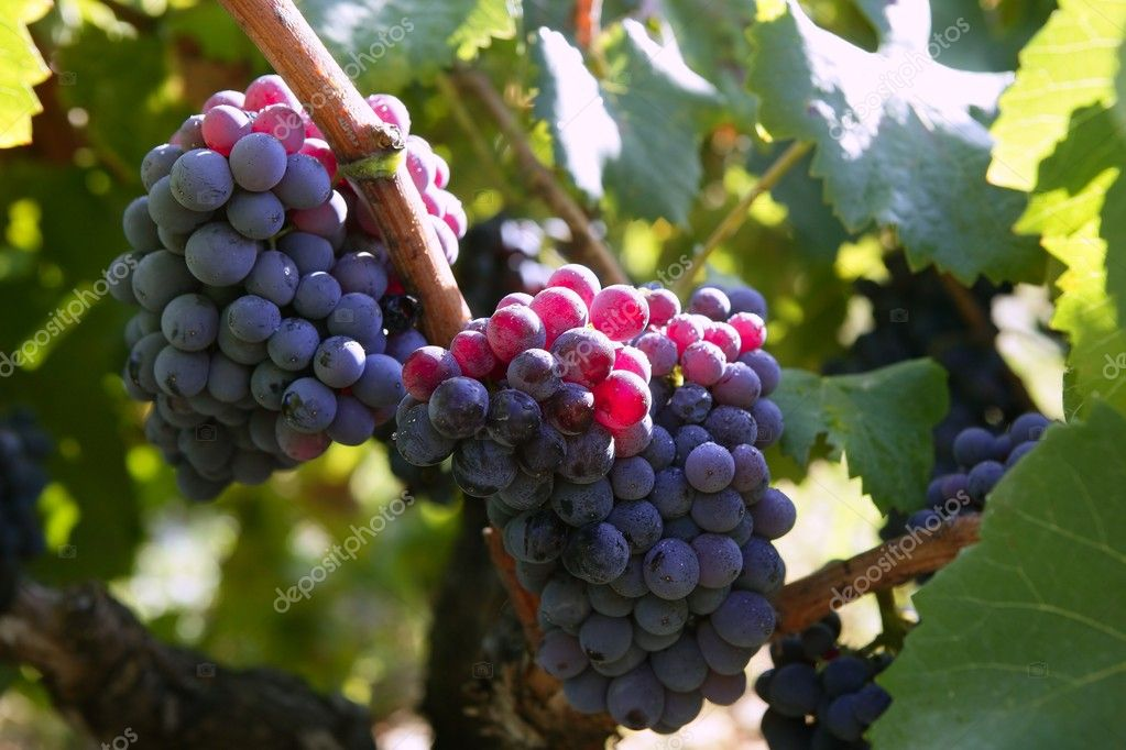 Black red grape for wine production in Spain grapevine fields  Stock Photo #5502095